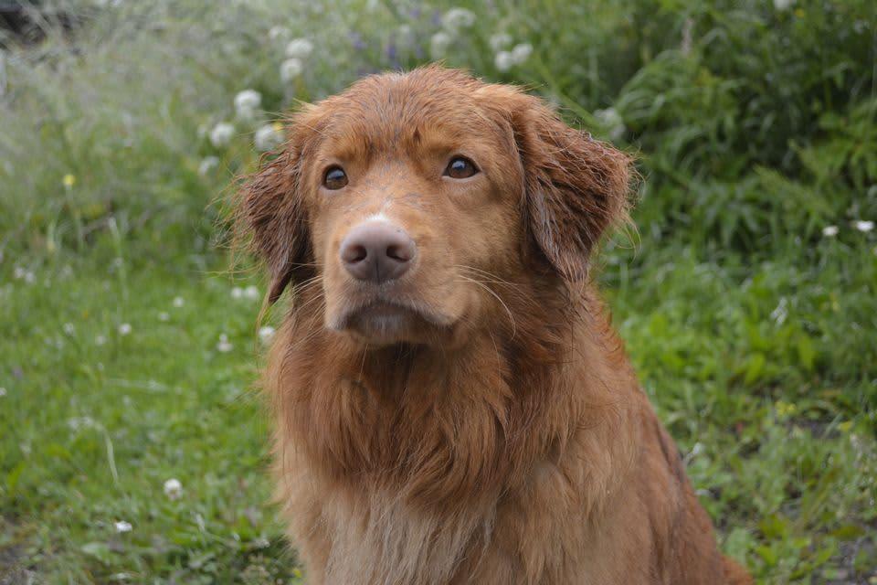 Novascotiannoutaja koira katsoo kameraan päin