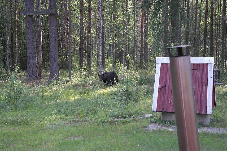 Karhu liikuskeli Lieksassa talon pihassa heinäkuussa 2015.