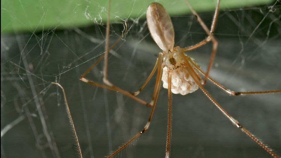 Vaaksiaishämähäkkinaaras munapussin kanssa.