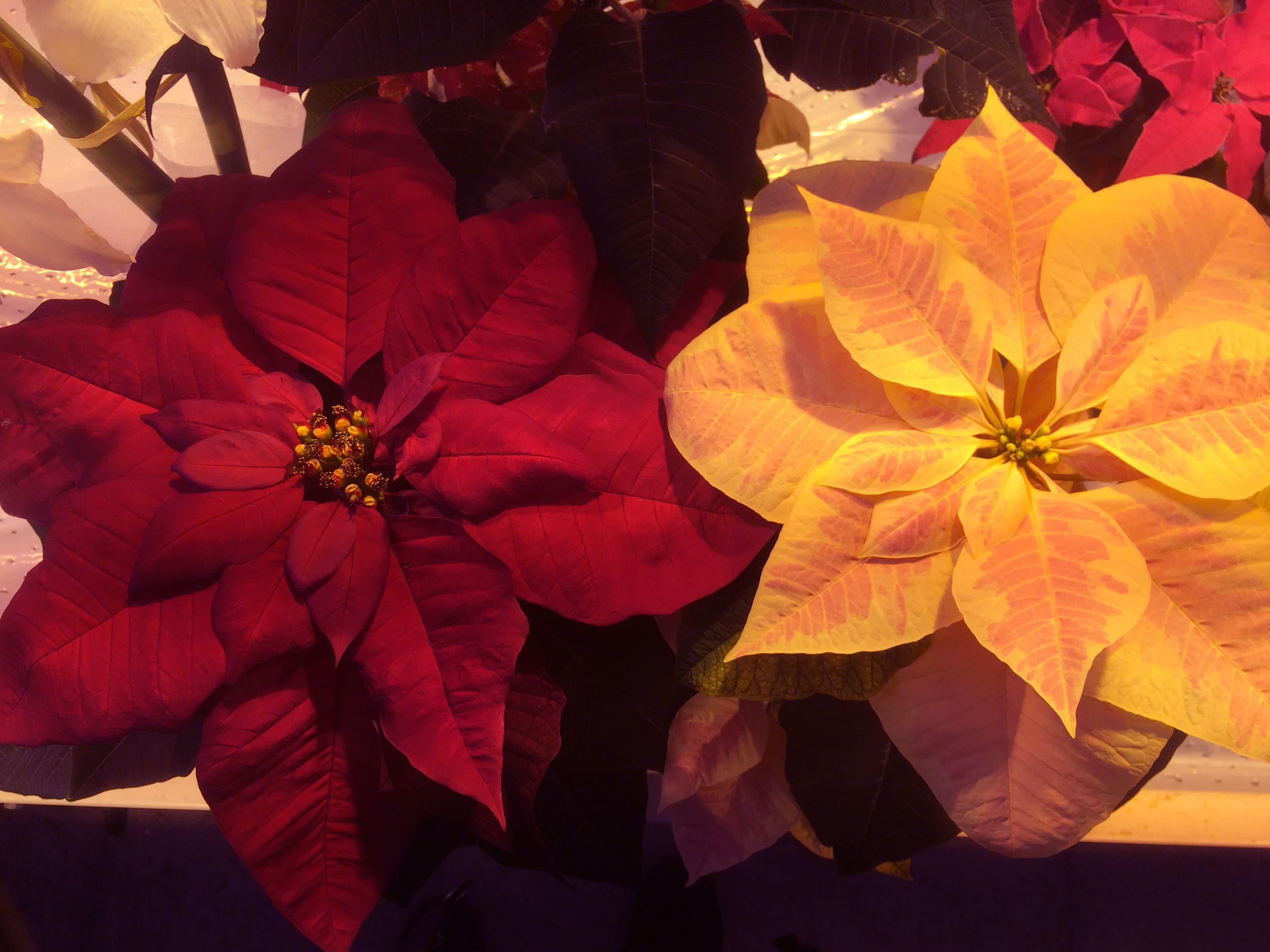 Punainen ja vaalea joulutähti