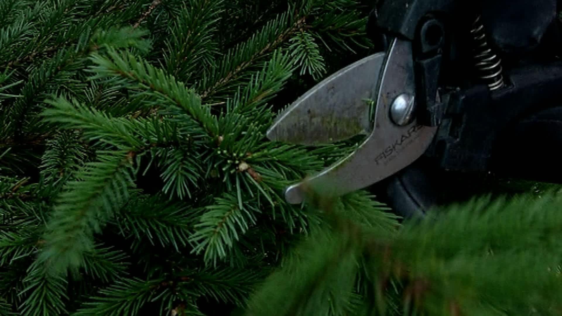 Joulukuusen oksan leikkaus.