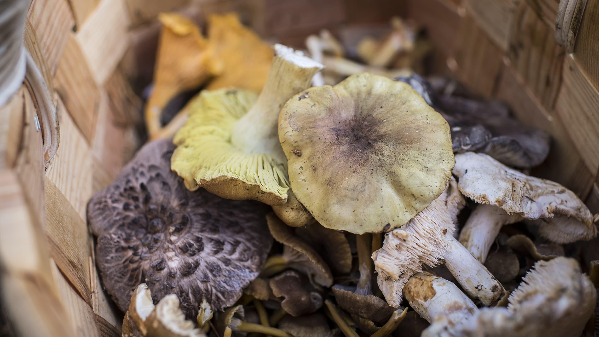Ruokasieniä sienestäjän korissa.