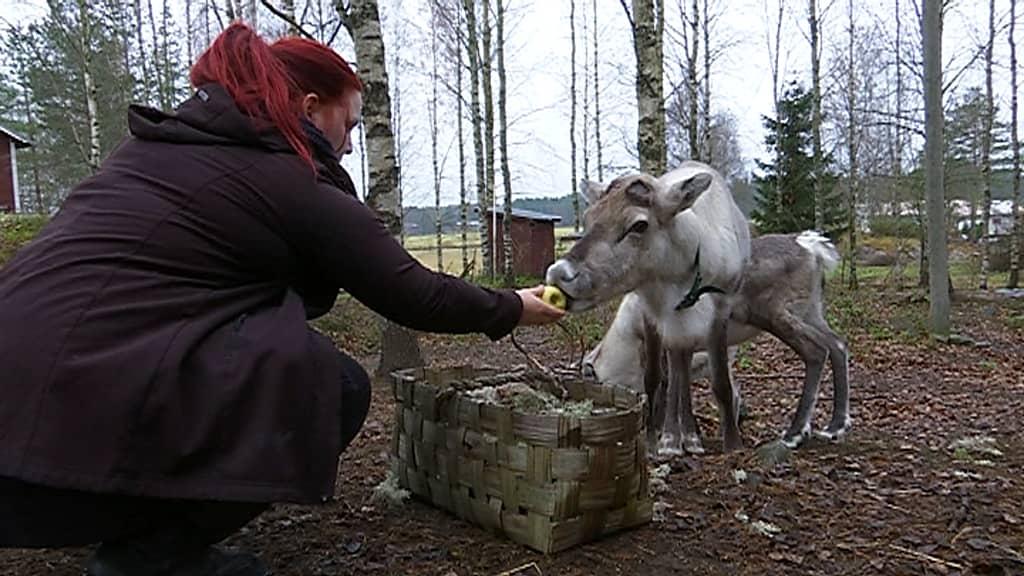 Sanni Kaitamäki ruokii porojaan Kurikan Sarvijoella. Porot nauttivat ruuakseen muun muassa viljaa, kerppuja, jäkälää, omenoita ja tatteja.