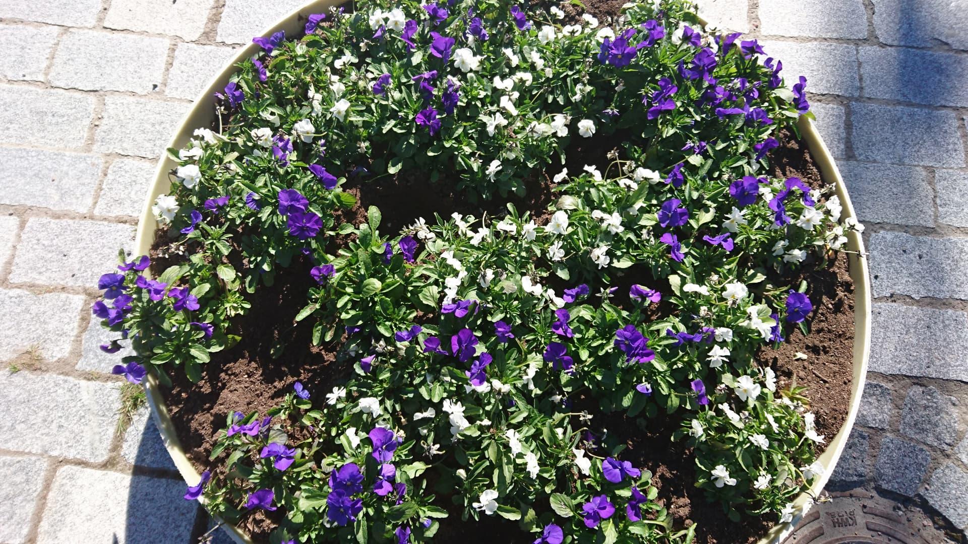 Kukkaistutuksesta revitty irti kukkia.