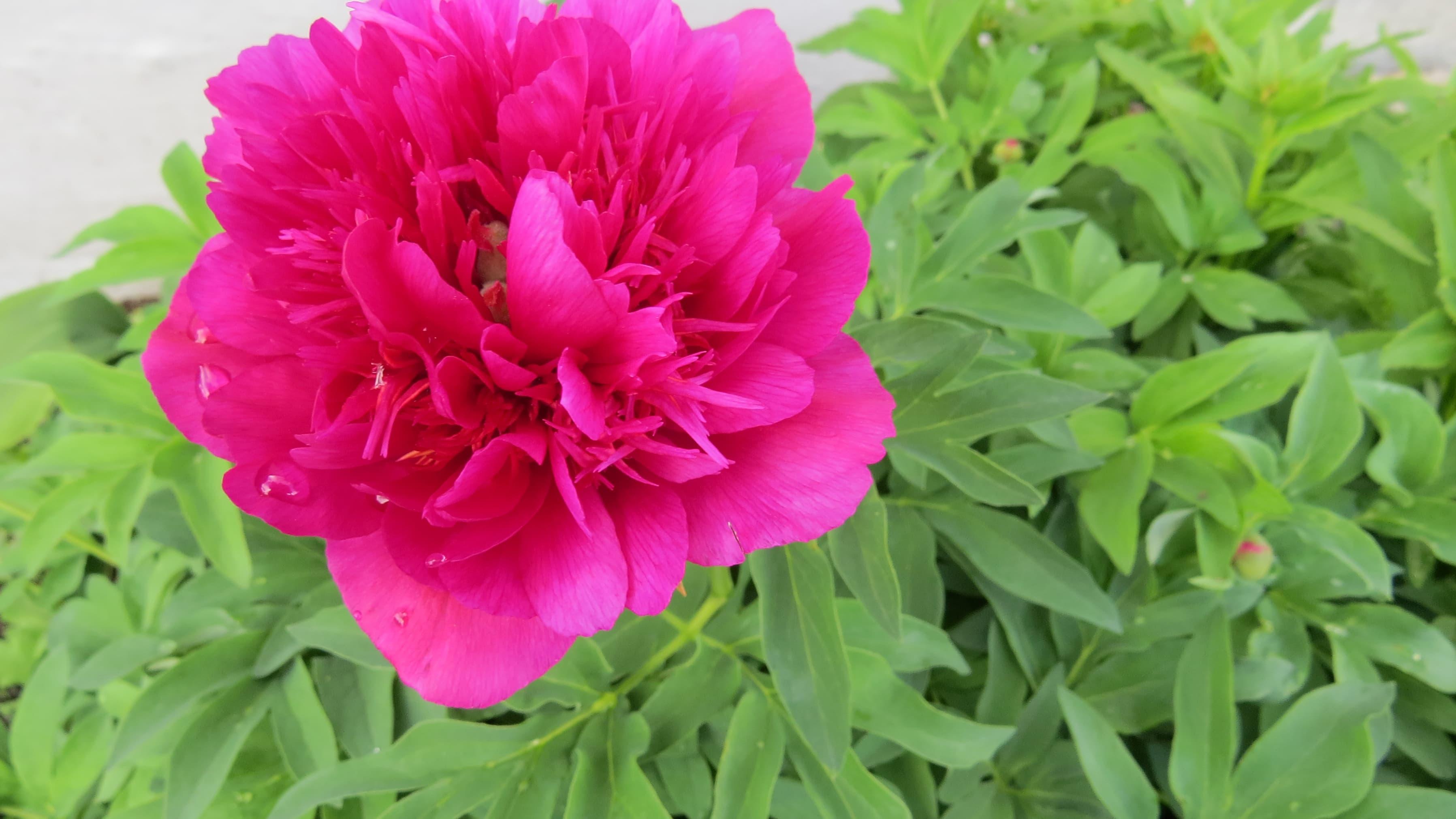 Pionin kukka.
