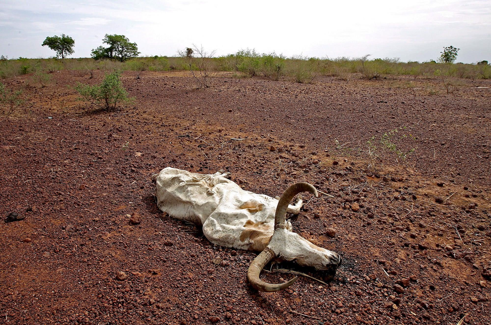 Kuollut härkä Sahelin alueella.