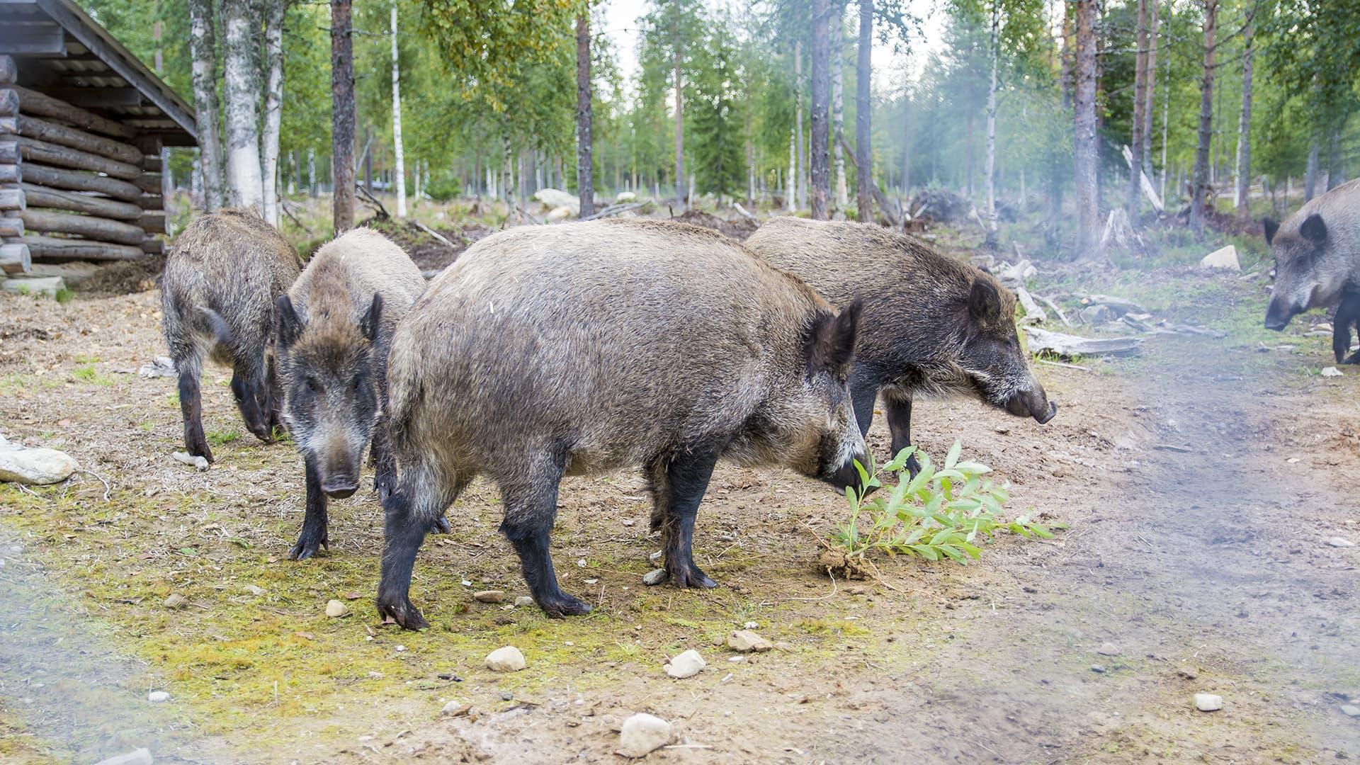 Villisikoja villisika tarhalla Suomussalmella.