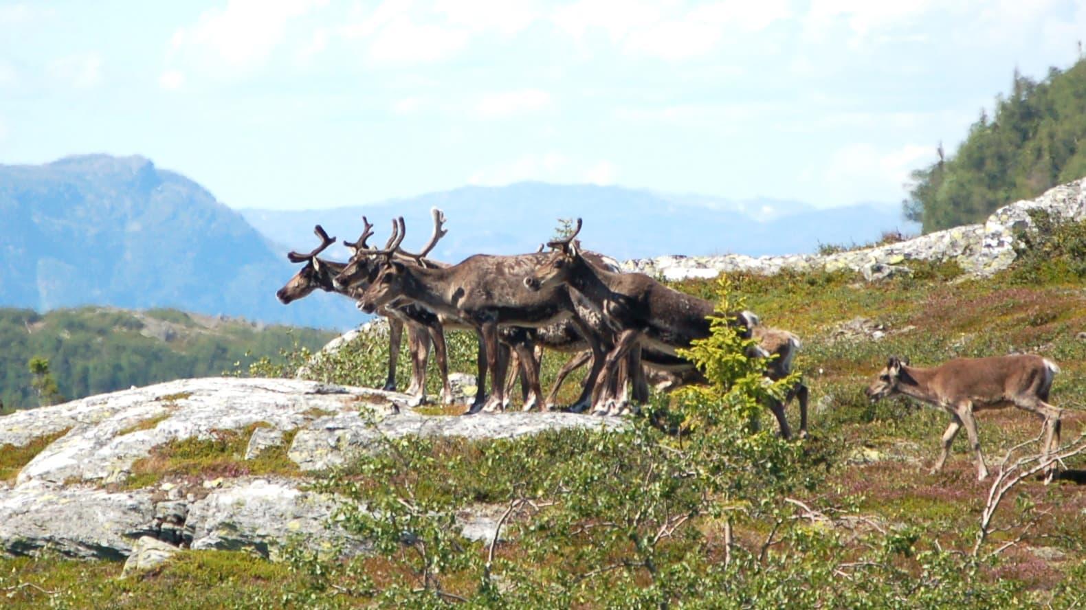 Tunturipeuroja Etelä-Norjassa Rollagin kunnan alueella vuonna 2008.