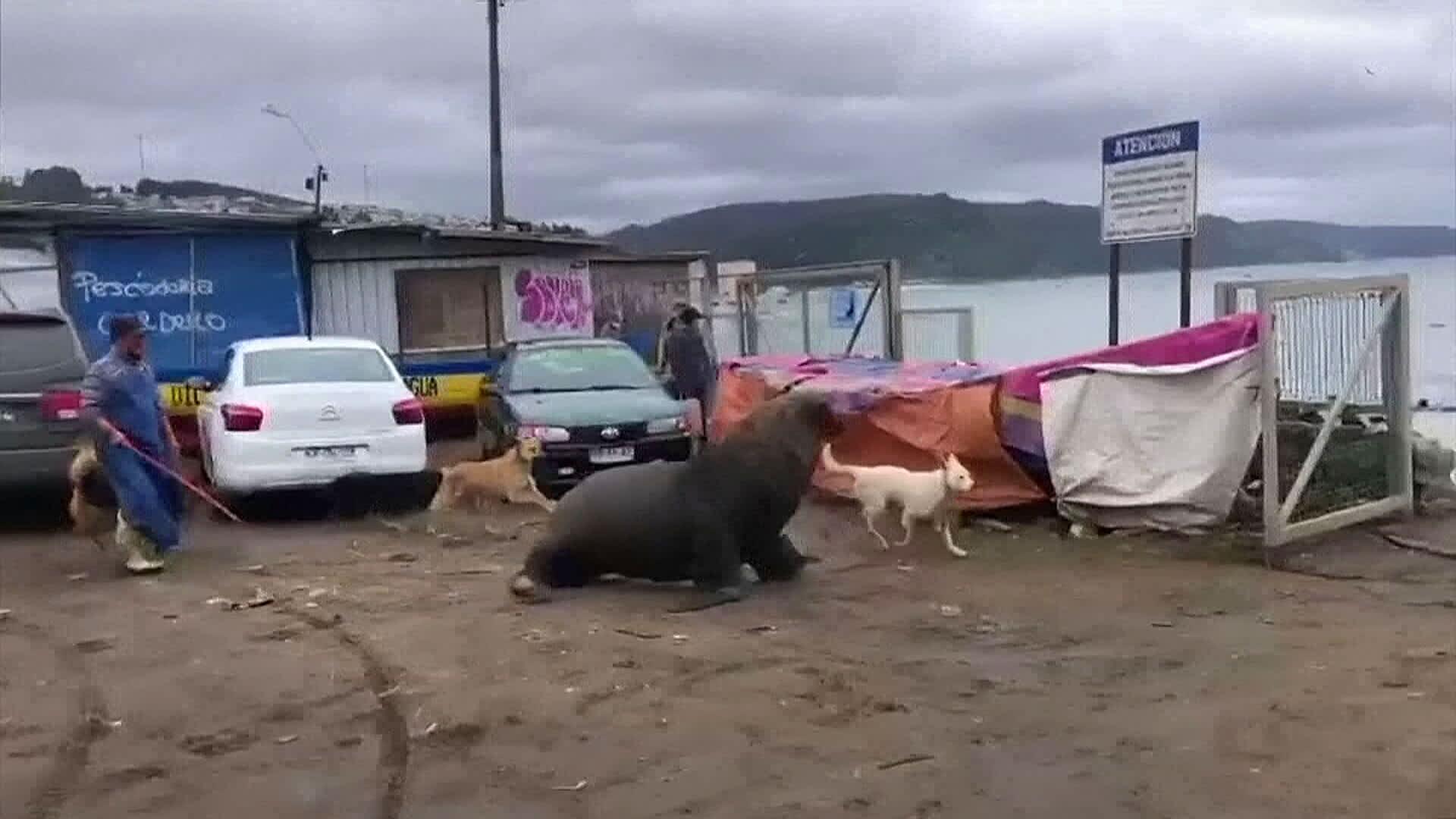 Sadat merileijonat valtasivat kaupungin rannat Chilessä