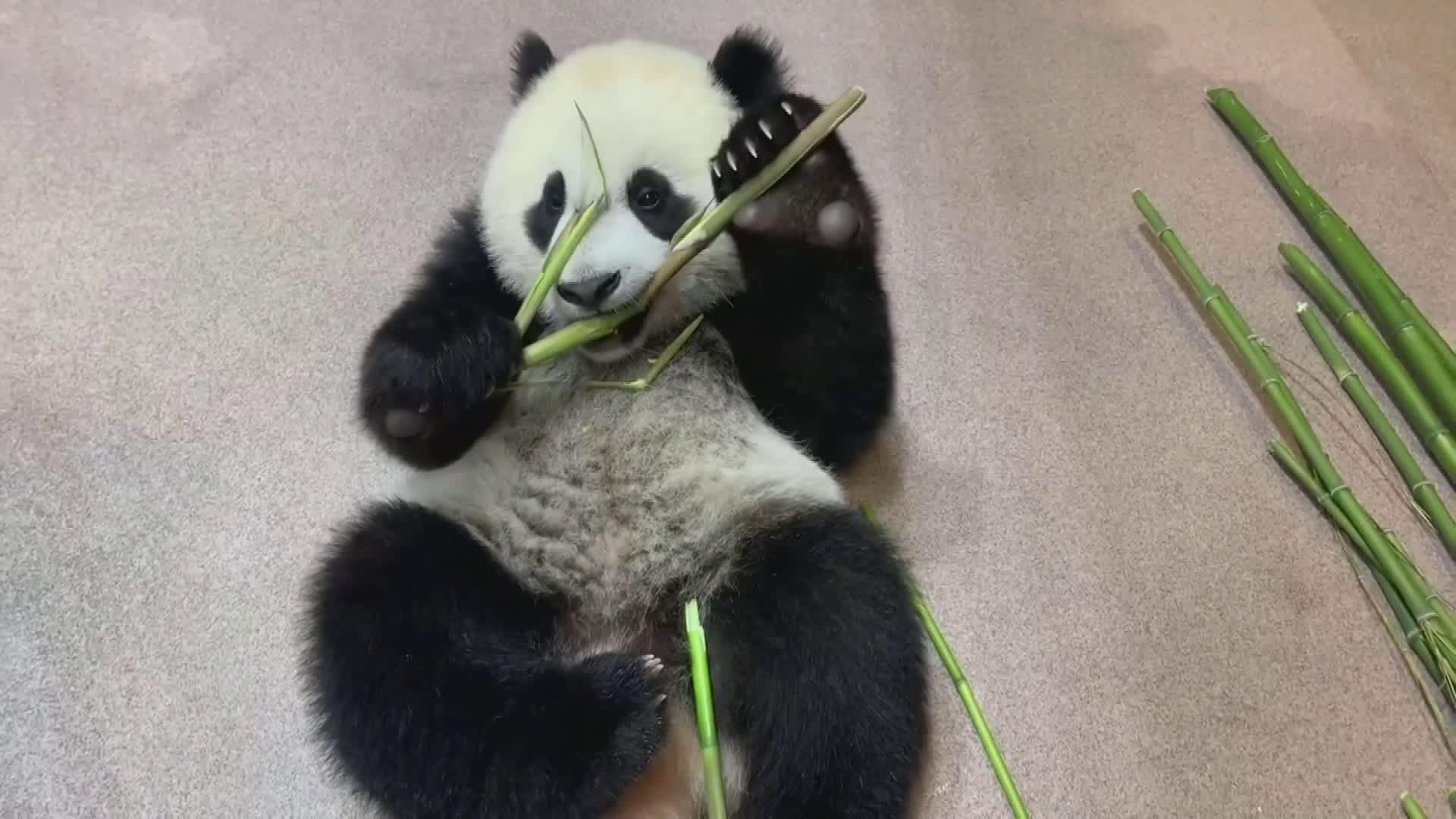 Suomalaistutkijat selvittivät: Isopanda päätyi bambunsyöjäksi leukanivelten ainutlaatuisen kehittymisen myötä