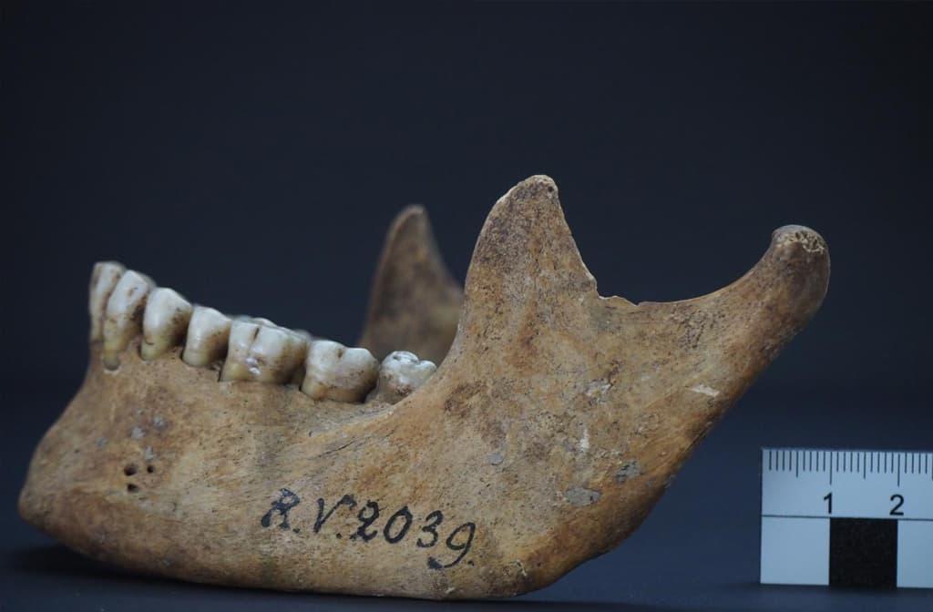 """Täydelliset hampaat ja leukaluu, johon on kirjoitettu """"RV 2039 g""""."""