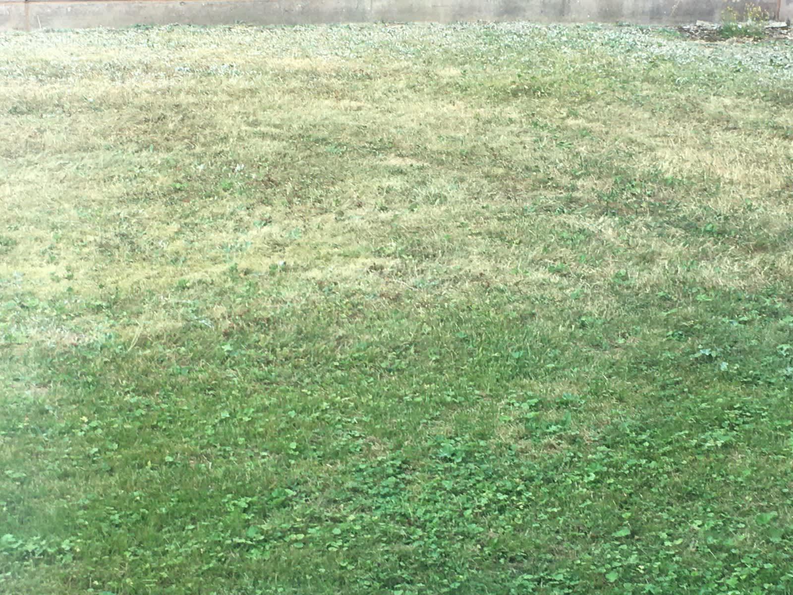 Kellastunuttta ja vihertävää ruohoa vierekkäin kuivana kesänä.