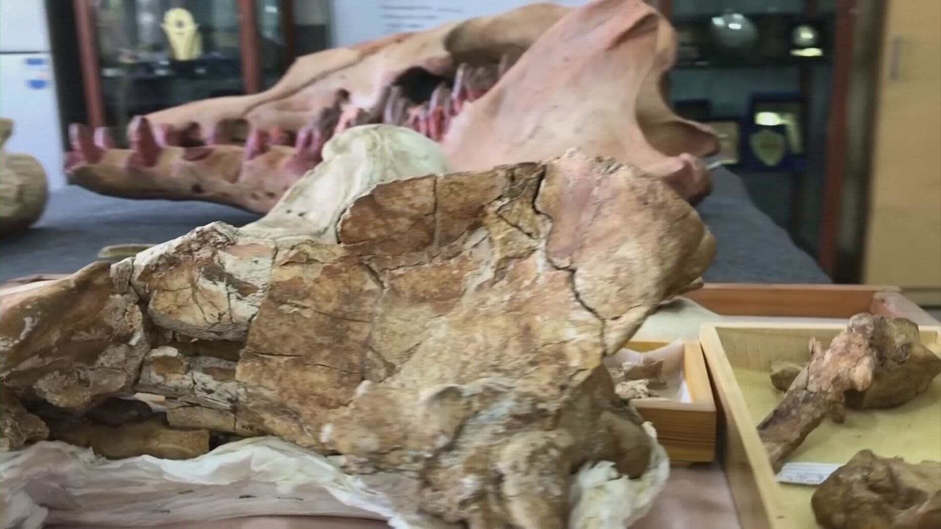 Egyptiläiset tutkijat ovat löytäneet nelijalkaisen valaan fossiilin