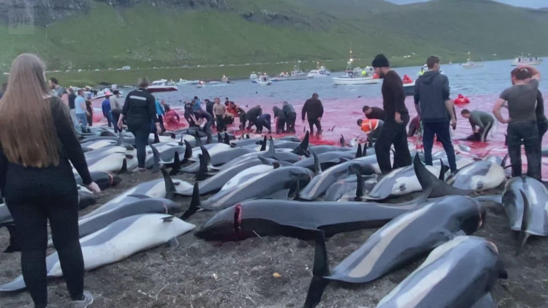 Färsaarilla tapettiin jopa 1428 valkokuvedelfiiniä
