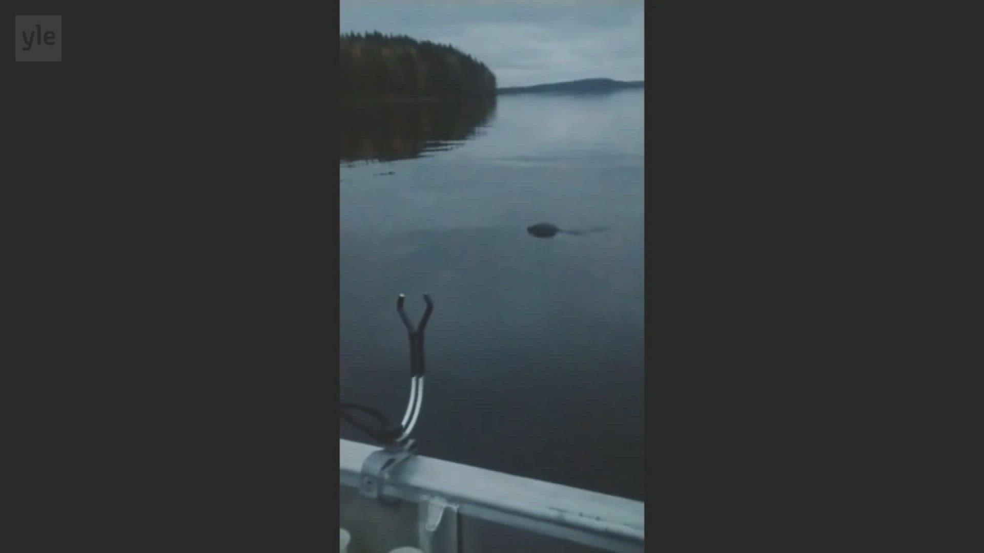 Harvinainen saimaannorppa uiskenteli aivan Lappeenrannan keskustan tuntumassa.