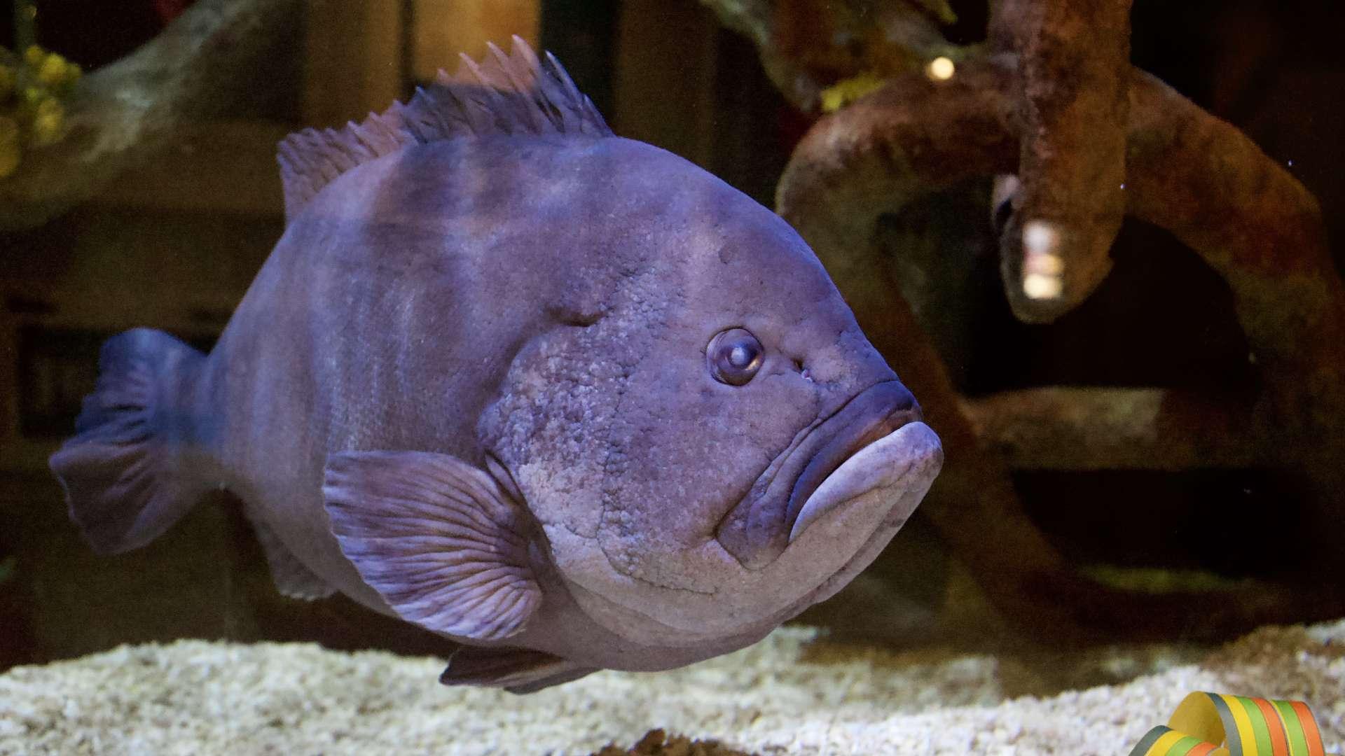 """""""Möllöttäjien kuningas"""" on nyt 17-vuotias ja 17-kiloinen – Kerran Mikko-meriahven nielaisi kokonaisen pulloharjan, tänään se hotkii kalmarin"""