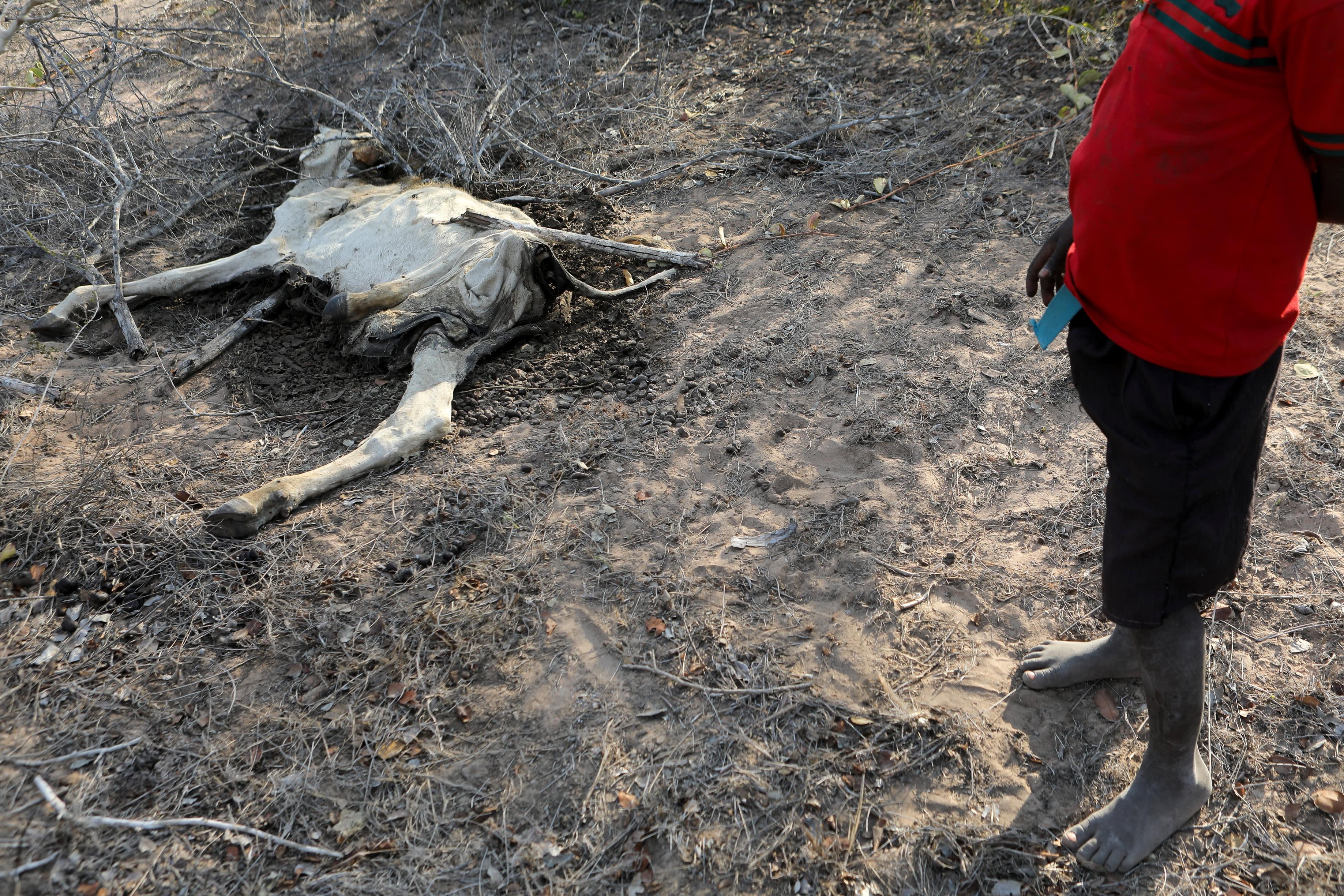 Kuollut vuohi Keniassa.