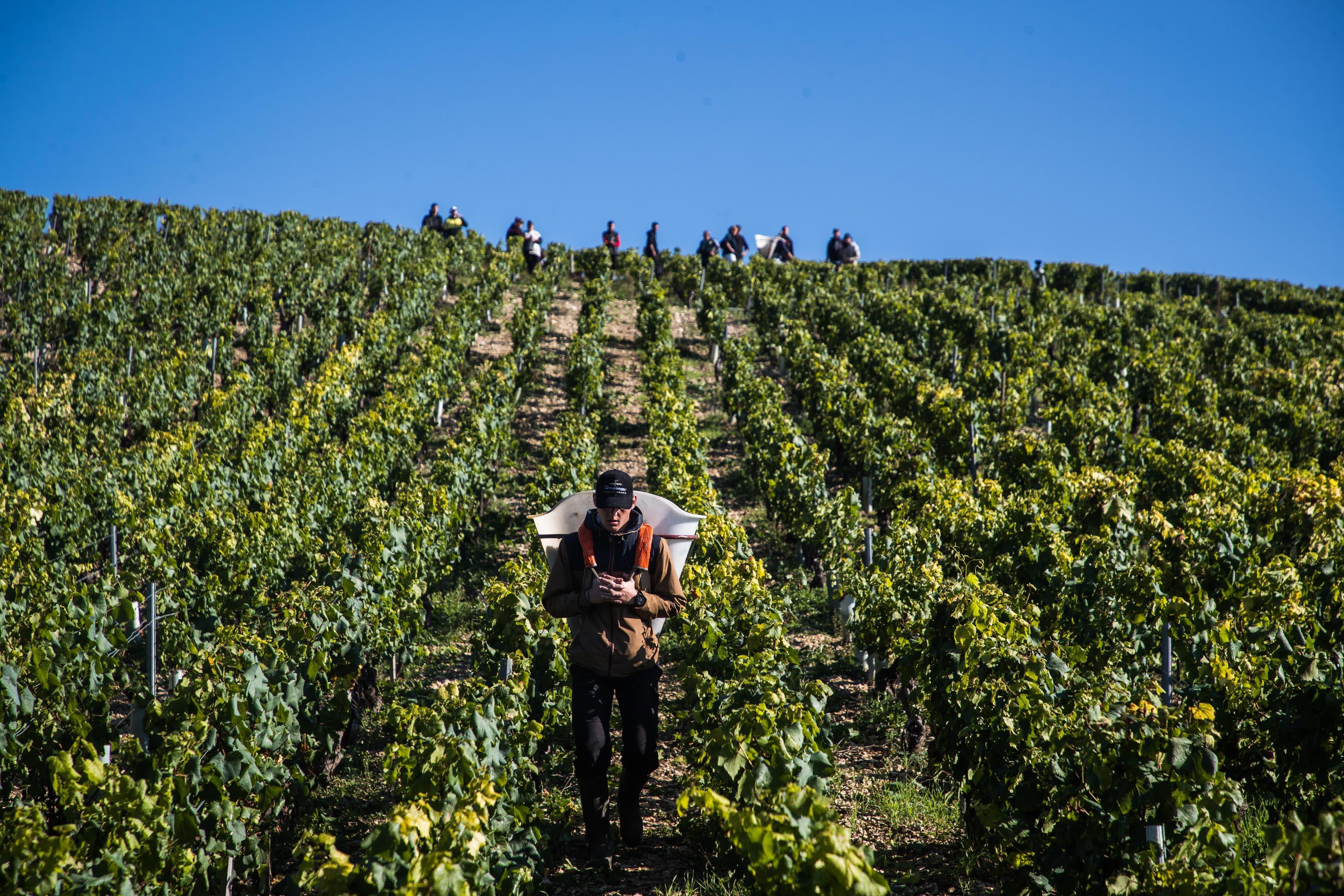 Viiniköynnöksiä Ranska Chablis'ssa, poimijoita.
