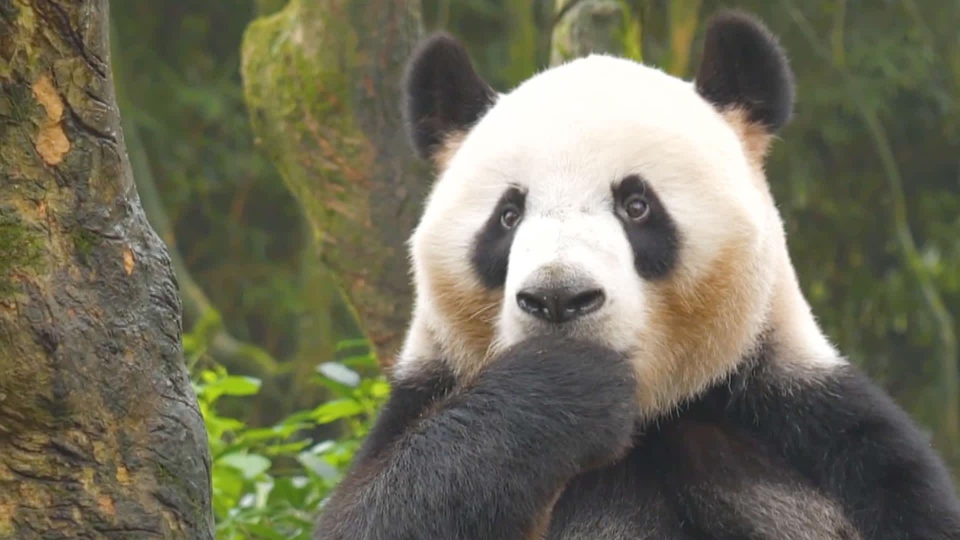 Kiina koettaa suojella isopandaansa metsänvartijoiden ja teknovalvonnan avulla