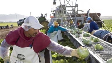 Meksikoilaisia siirtotyöläiset korjaamassa jäävuorisalaattisatoa.
