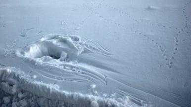 Myyrän taistelujäljet lumella.