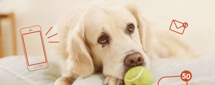 Kuvassa surullisen näköinen kultainen noutaja, jonka kirsun edessä pallo