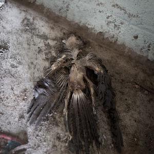 Död fågel i ödehus i Vassor