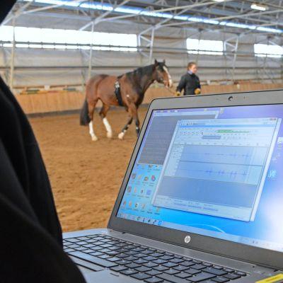Hevosen polvinivelten ääniä rekisteröidään nivelrikkotutkimusta varten Oulun hevosklinikan maneesilla.