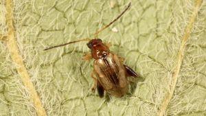 Longitarsus exsoletus