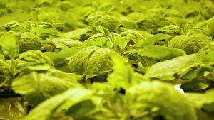 Nicotiana benthamiana, tupakan sukulaiskasvi