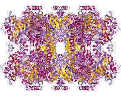 Glutaminsyntasets proteinstruktur.
