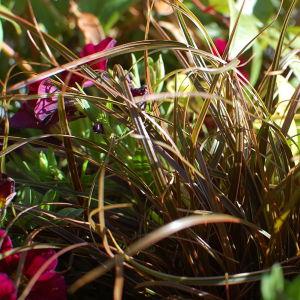 Gräs i samplantering i kruka.