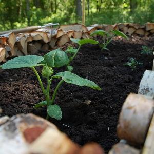 Gurkplantor i nyckelhålsträdgården på Strömsö