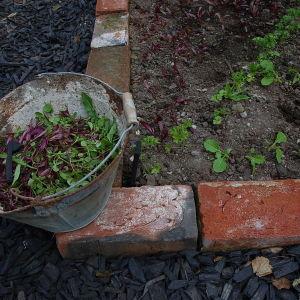 Gallring i potager-trädgården