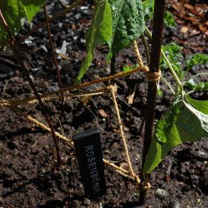 Planterad rosenböna intill spaljékonstruktionen