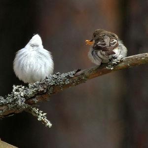 Thomas Sjölund har fotograferat dessa två fåglar. Vad har hänt med den andra som ser ut att burra och visa upp sin vita mage?