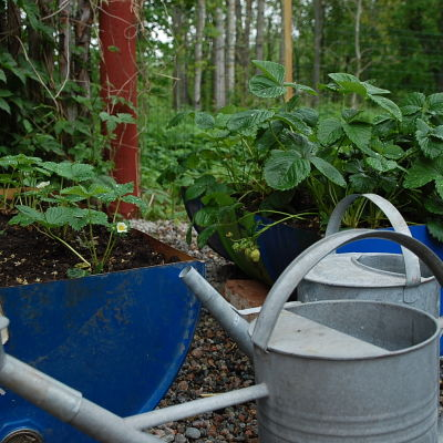 Nyvattnade jordgubbsplantor