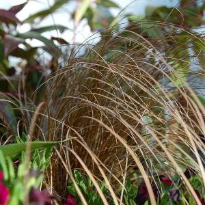 Gräs i samplantering.