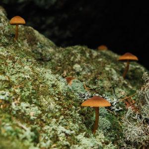 Sieniä sammalmättäällä.