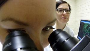 Riina Sarkanen katselee taustalla, kun toinen tutkija katselee mikroskoopilla näytettä.
