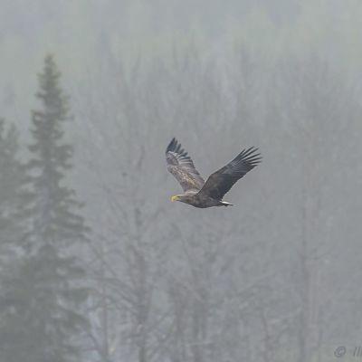 Merikotka lentää taivaalla Kuopiossa helmikuussa 2020.