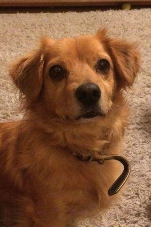 Vvaleanruskea pieni koira