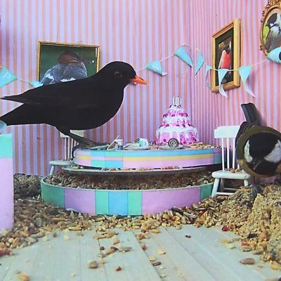 Mustarastas ja talitiainen livekamerassa lintulaudalle lavastatuissa synttärikutsuilla