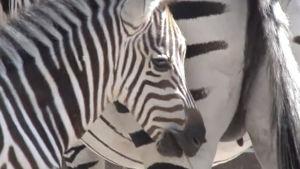 Zebra i en italiensk djurpark.