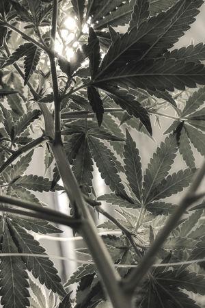 Cannabisplanta.