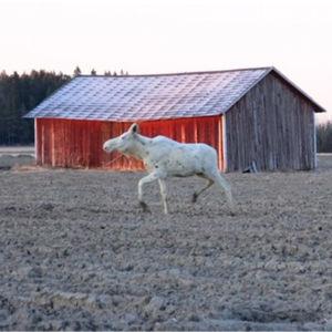 Valkoinen hirvi juoksee pellolla, ruskea hirvi perässään.