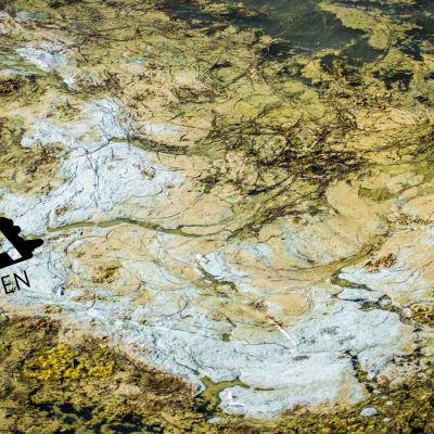 Alger har gjort vattnet till en tjock grönblå sörja på södra sidan utanför Rosala