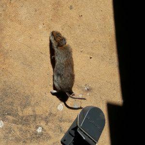 Tage Bäckström undrar om detta är en mus eller sork. Den är ca. 8cm lång, svansen är ca. 5 cm. Fångstplatsen är ett lider på Skåldö, Ekenäs.