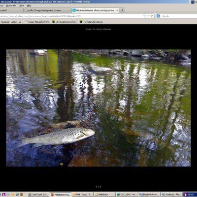 Döda fiskar i Rutiån i Vanda/Helsingfors.