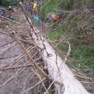 Kaatunut puu Lappeenrannassa Jukolan viestissä.